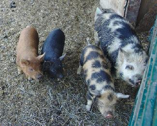 Potbellied piglets