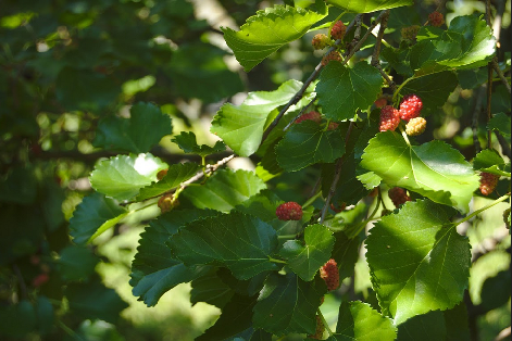 BL_mulberries_11.png