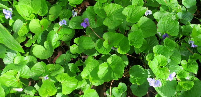 violets a mix of colours.jpg