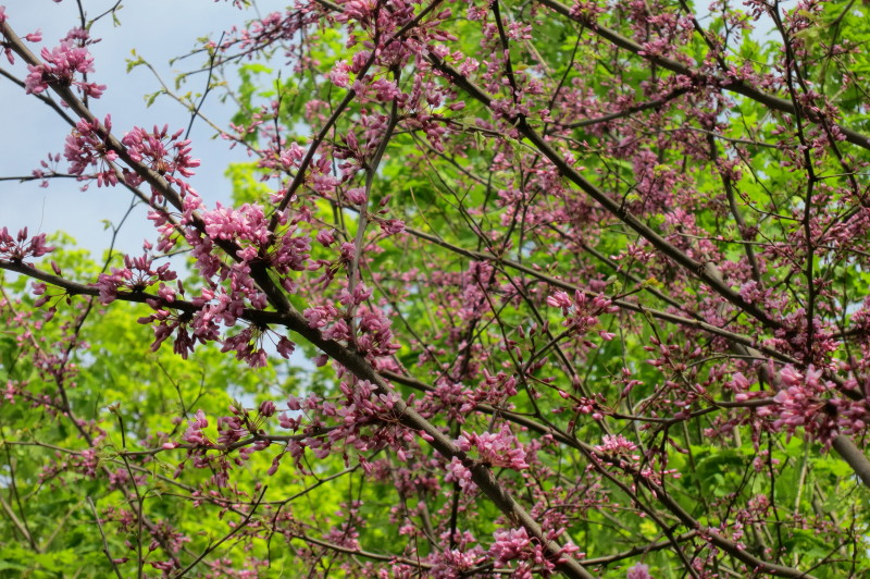 redbud blossoms opening.jpg