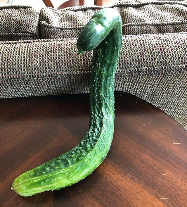 Now this is a cucumber. Home grown by a friend. #wow #sacredlife #doorways #grateful