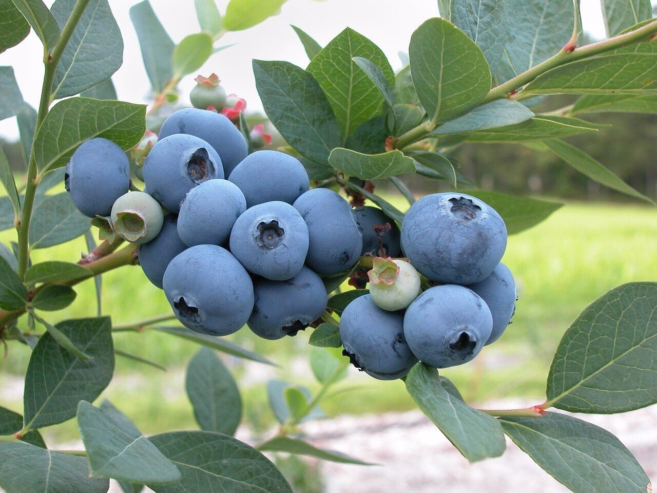 blueberries-1813420_1280.jpg