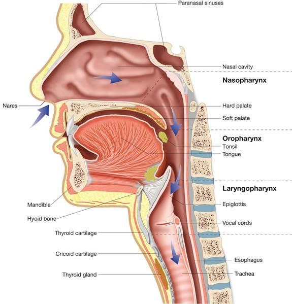 The Pharyngorofacial Complex