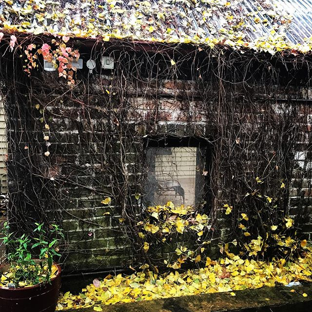 It's raining, it's pouring....finally! This very old wall in the garden looks great in any weather, in any season...who cares about all those ginkgo leaves that will need cleaning up #visitsouthernhighlands #southernhighlands #burrawanggeneralstore #burrawang #ginkgo