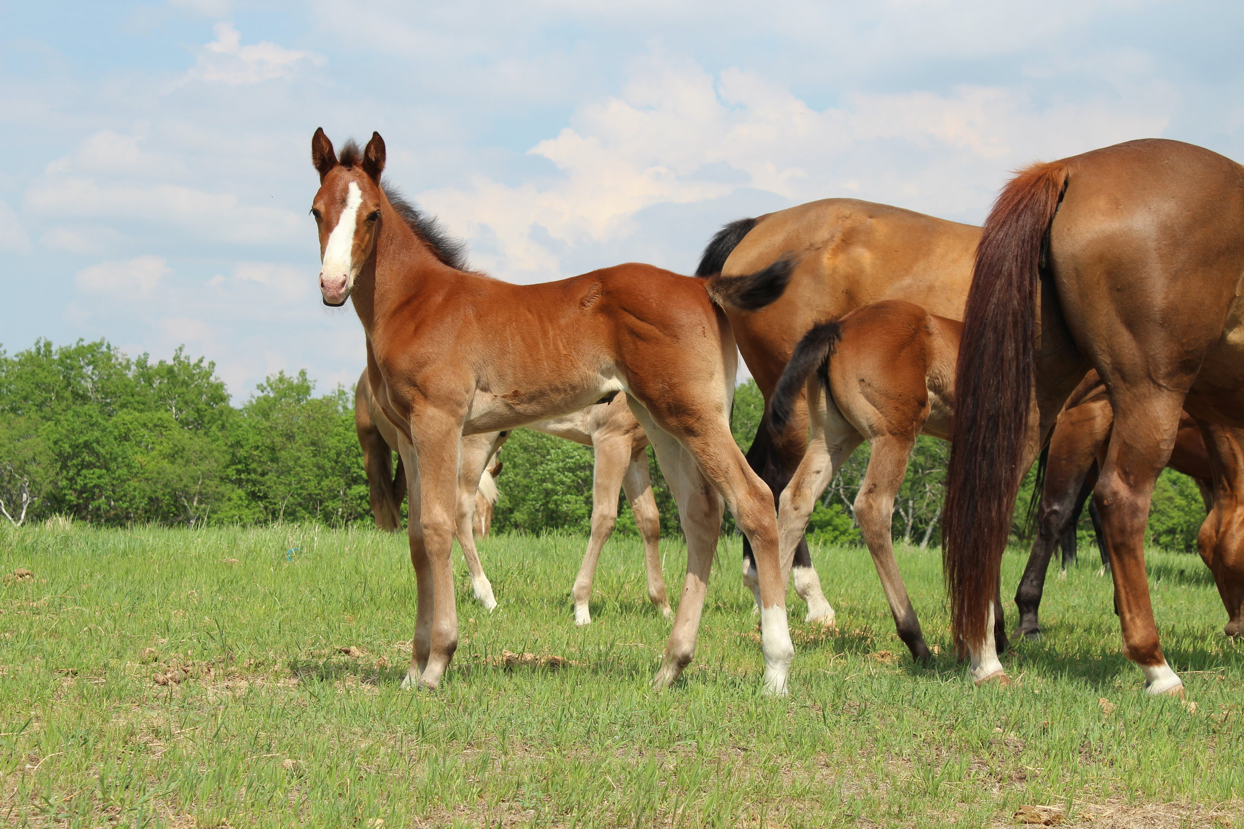 STAR STRIP SNIP, LEFT HIND SOCK, RIGHT FRONT PASTERN, LEFT HIND PASTERN, BAY FILLY. BORN MAY 5TH (27).JPG