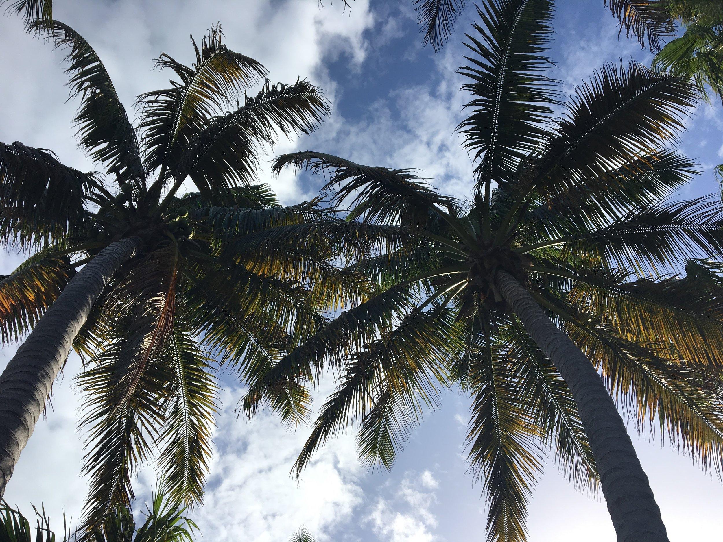 Turks&Caicos Palm Trees.JPG