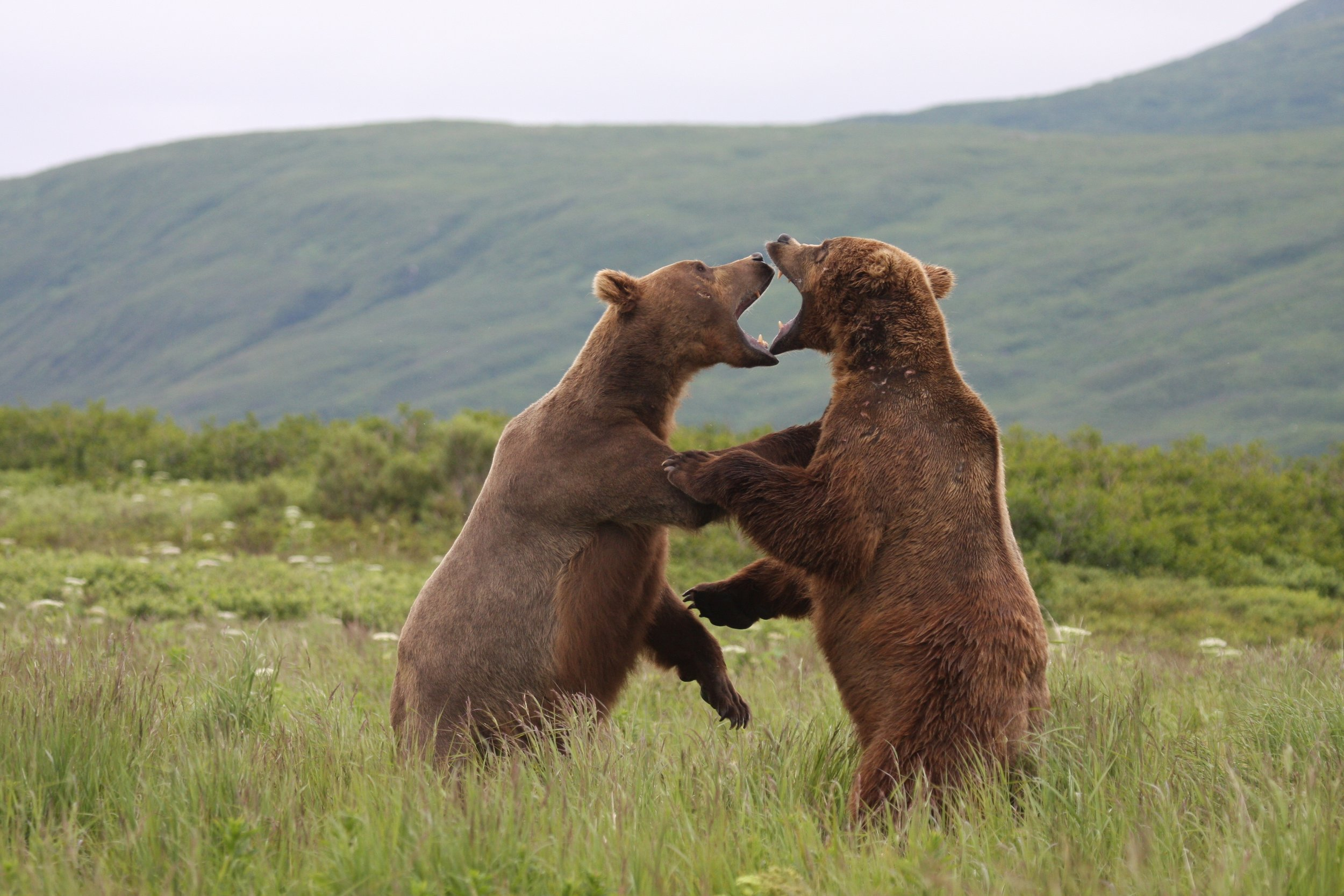 July- two adult males bears play