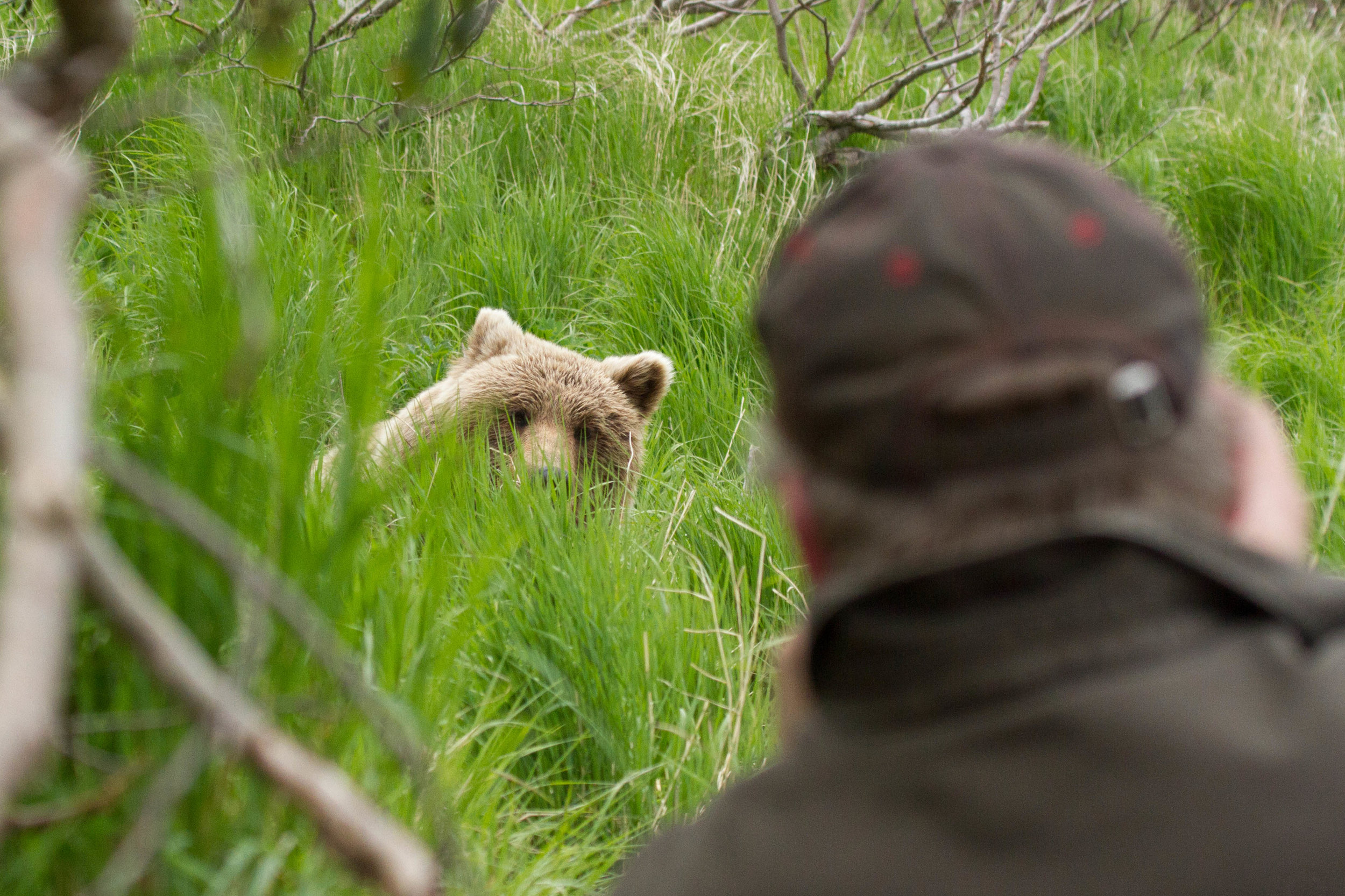 June - a small bear pops out of the grass near a group of bear viewers