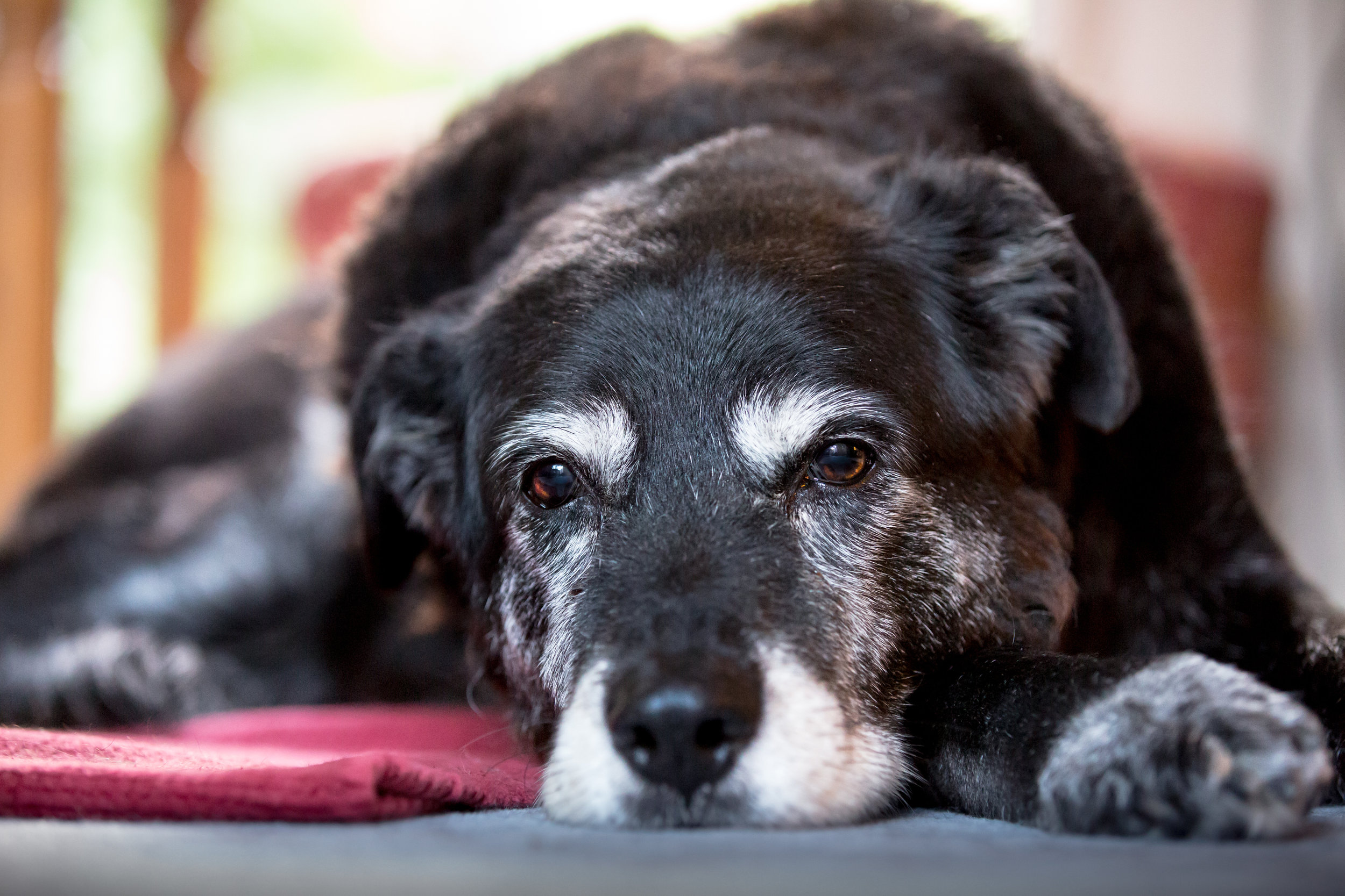Old dog with arthritis