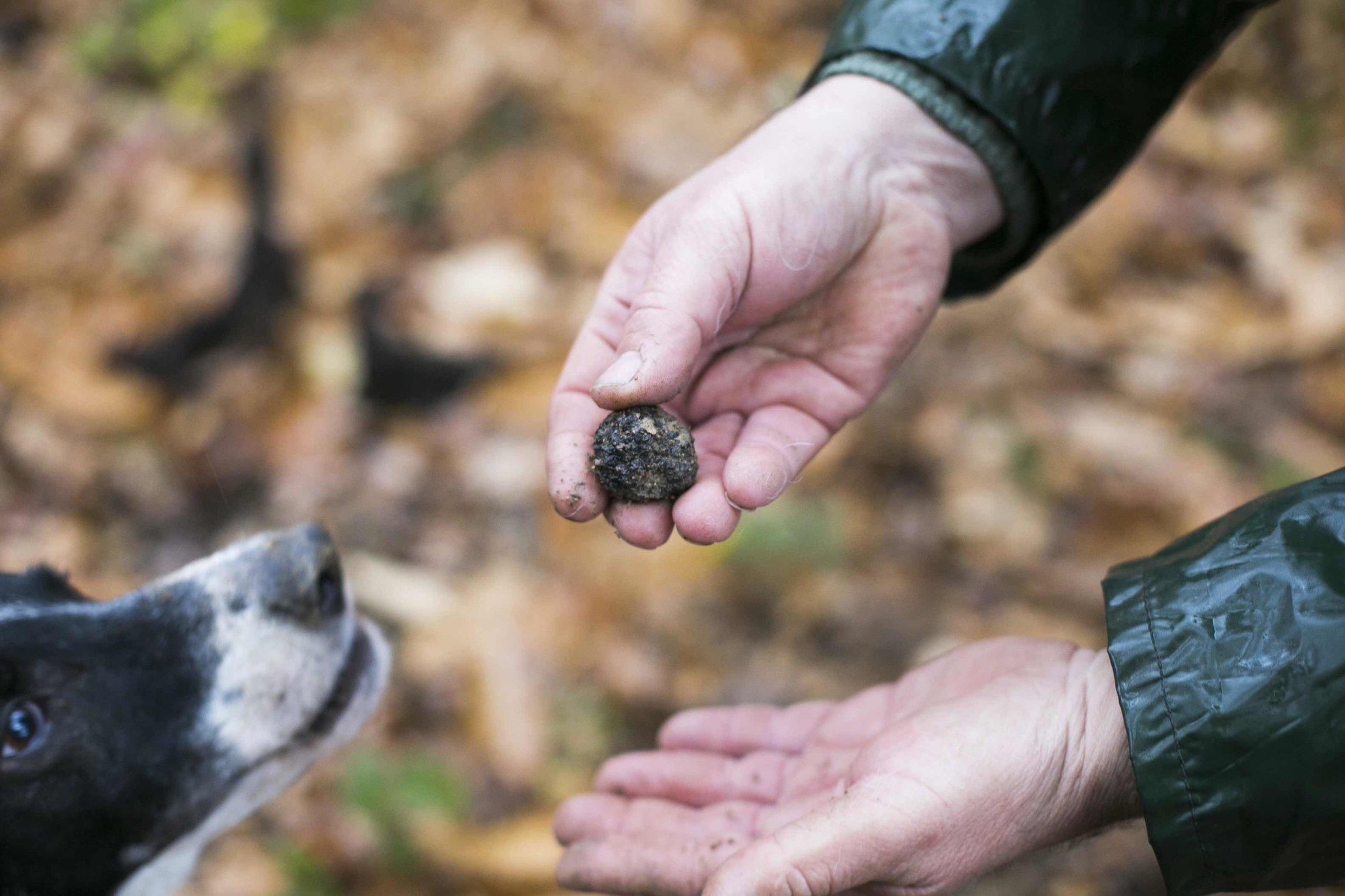 alba white truffle hunting