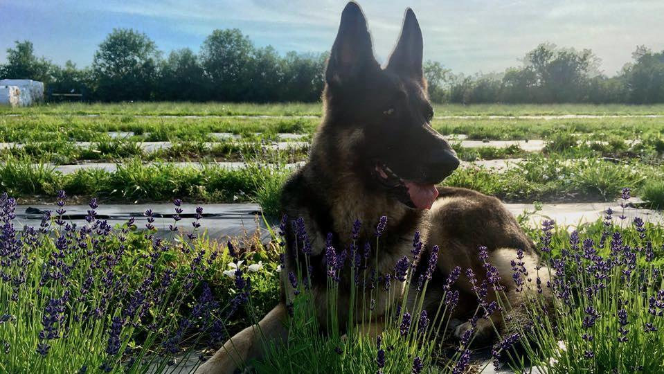 Deagle - Loyal friend, dignified farm keep, and gentle hugger.