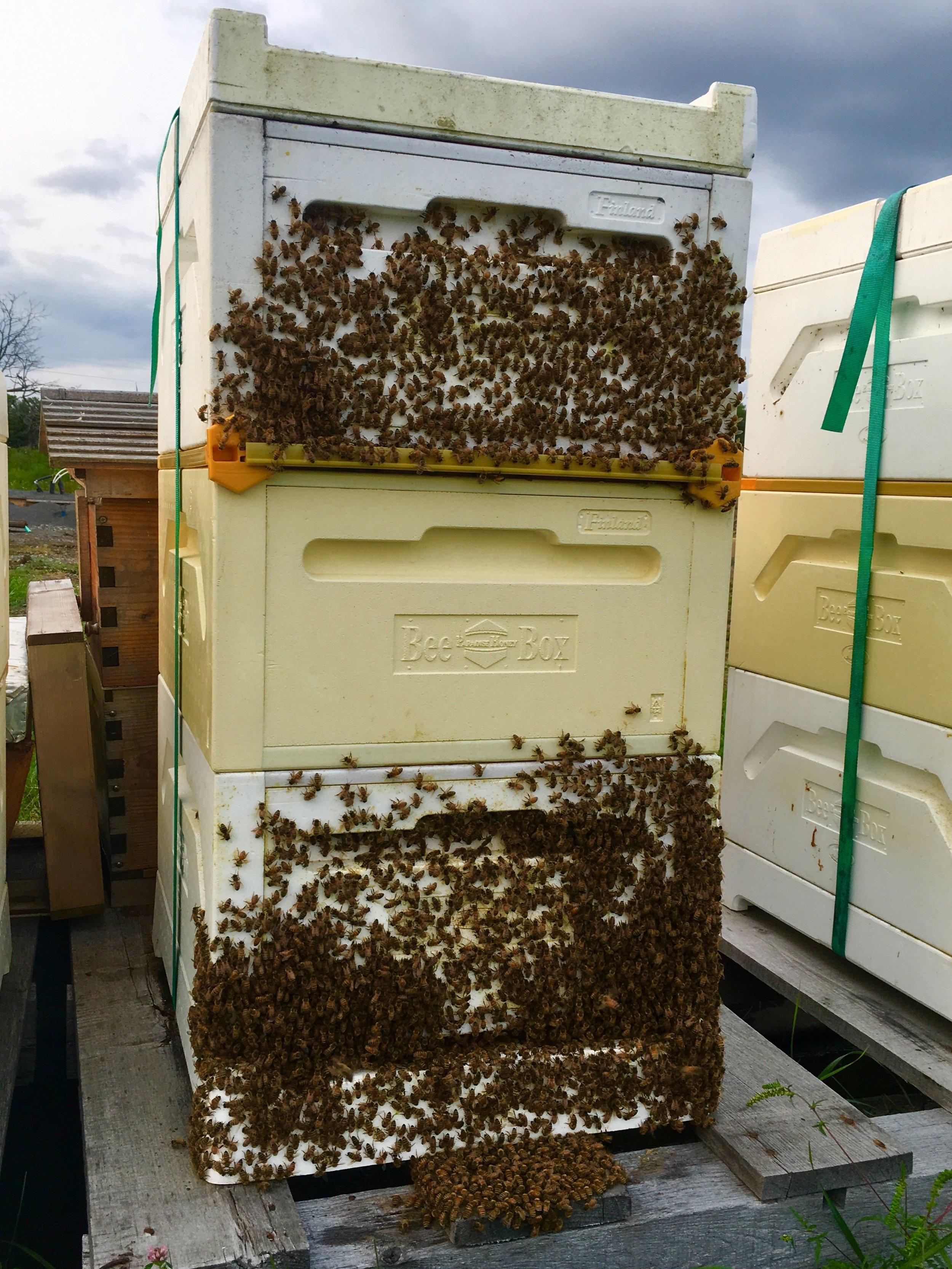 Millefleurs+PEC+honeybee+colony