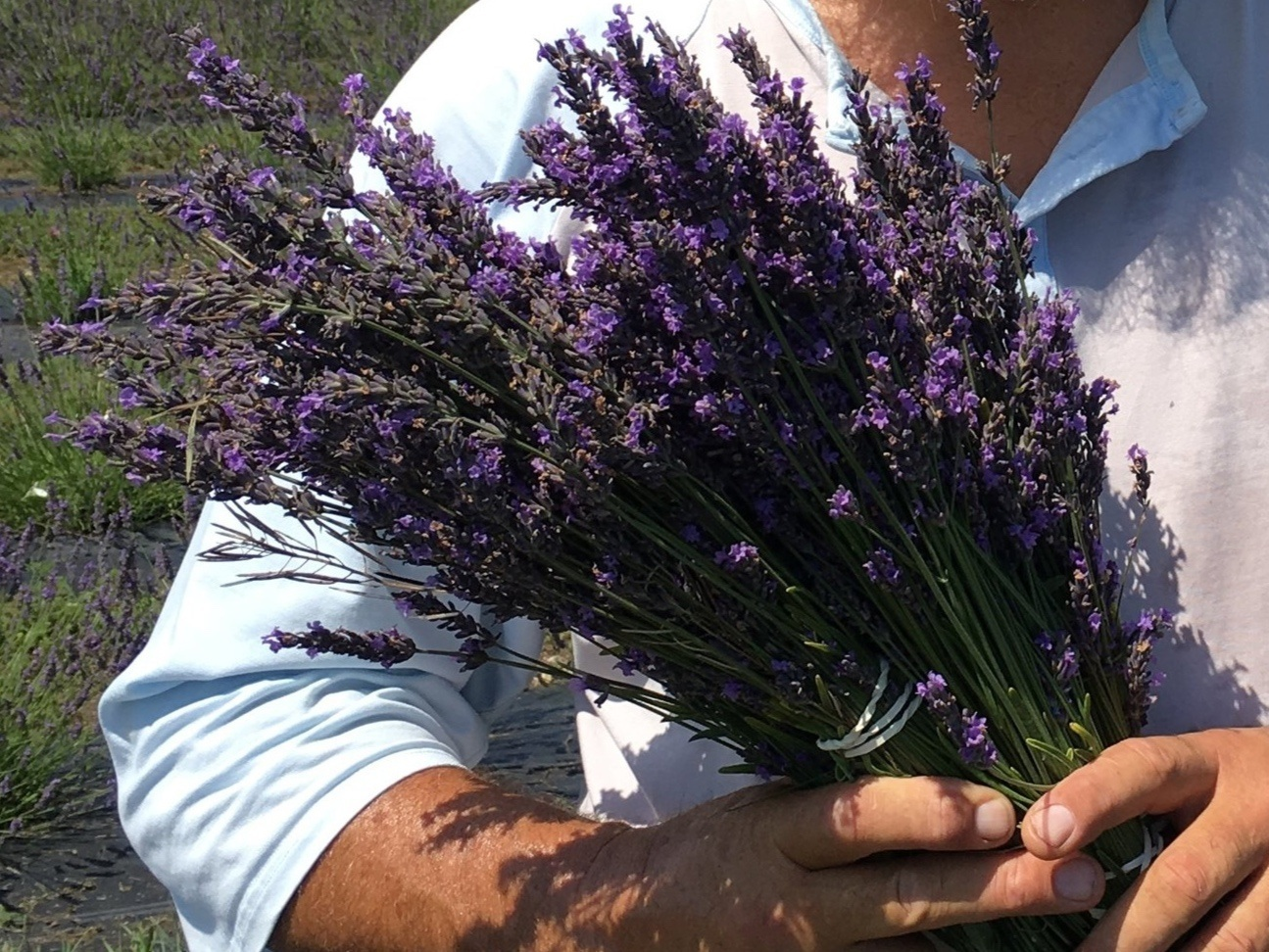 Fresh Bouquets - Get them while they last (July to early August). Nothing compares to the smell of fresh-cut lavender. Give a bouquet to your friend — keep one for yourself.