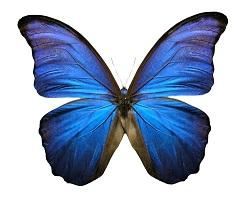 blue-butterfly-1401823.jpg