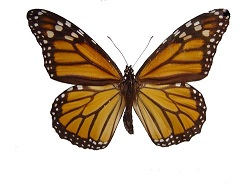 monarch-1409511.jpg