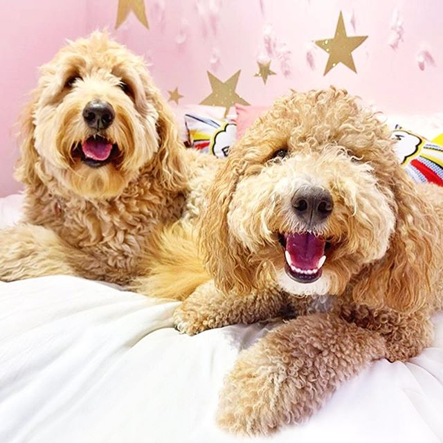 Dogs deserve sleepovers, too!! We can't get enough of sweet Nelson and Pirsig....❤️❤️  Don't forget... Wardrobe changes for people AND pups are highly encouraged at Picture Park! We've got fun accessories for both...🕶👑  See you Sunday for Round 2 of Bark in the Park! 12-2pm only....on our very last day in Mockingbird Station!   Ticket link in bio! 🎟🎟🎟  @nelsonthegoldendoodle @pirsigandedwin