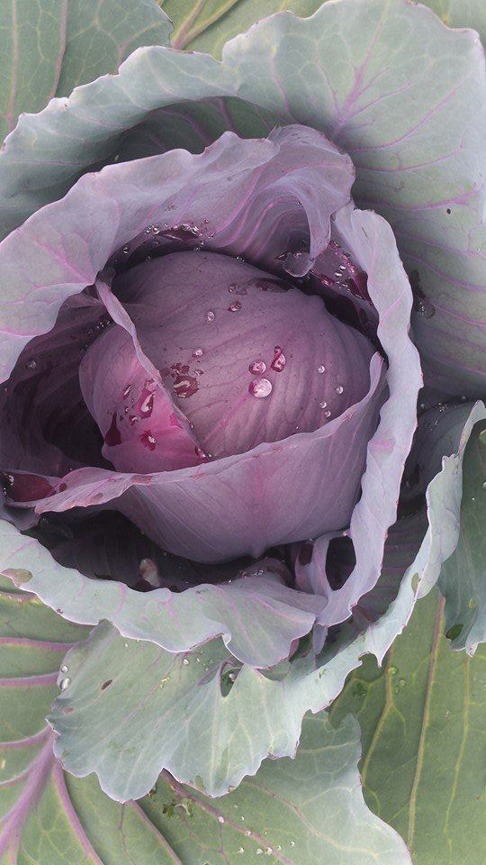 Tom Kumpf - RedCabbage.jpg