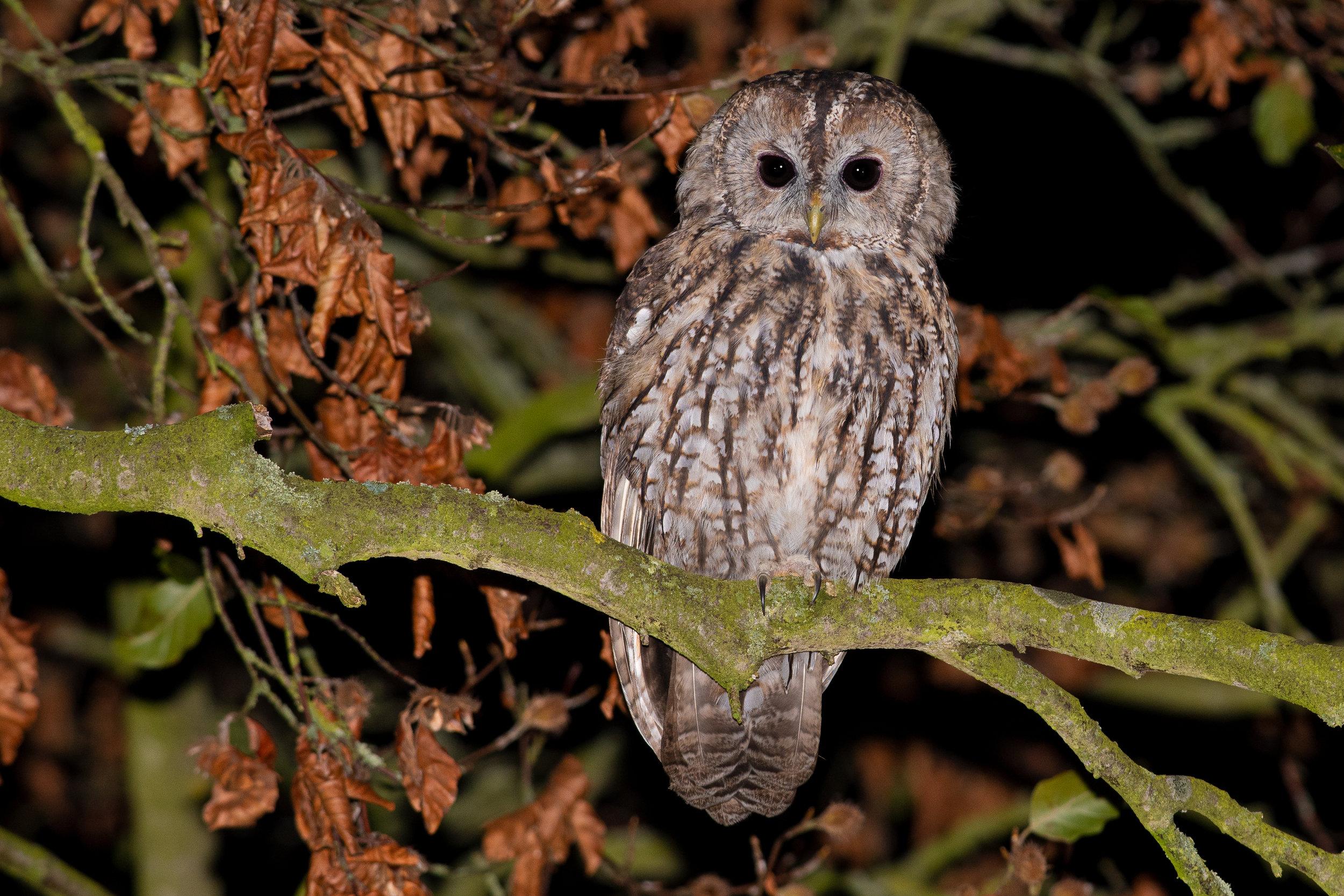 Tawny-Owl-HIGH-RES-26.jpg