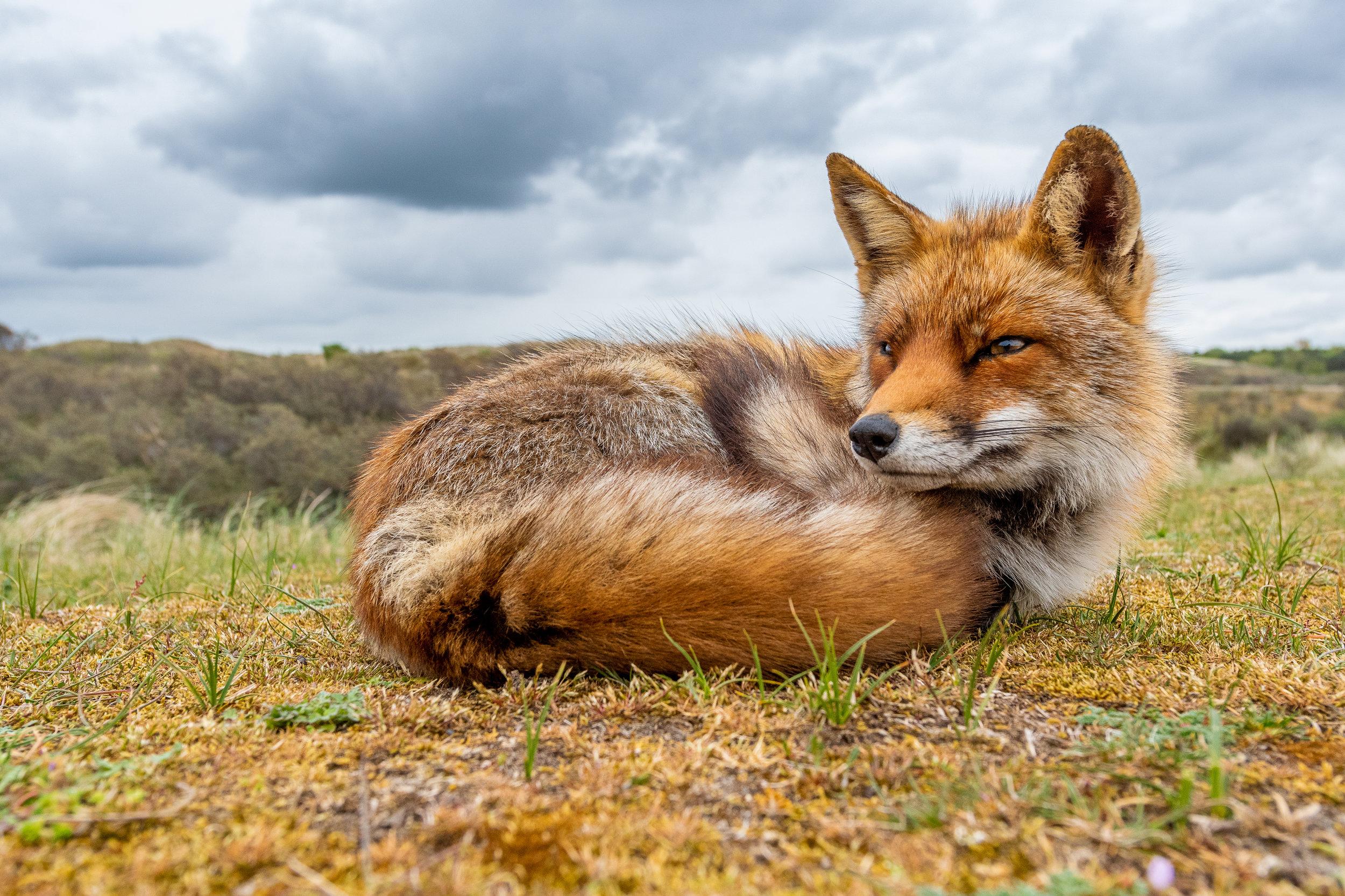 Red-Fox-FOR-WEBSITE.jpg