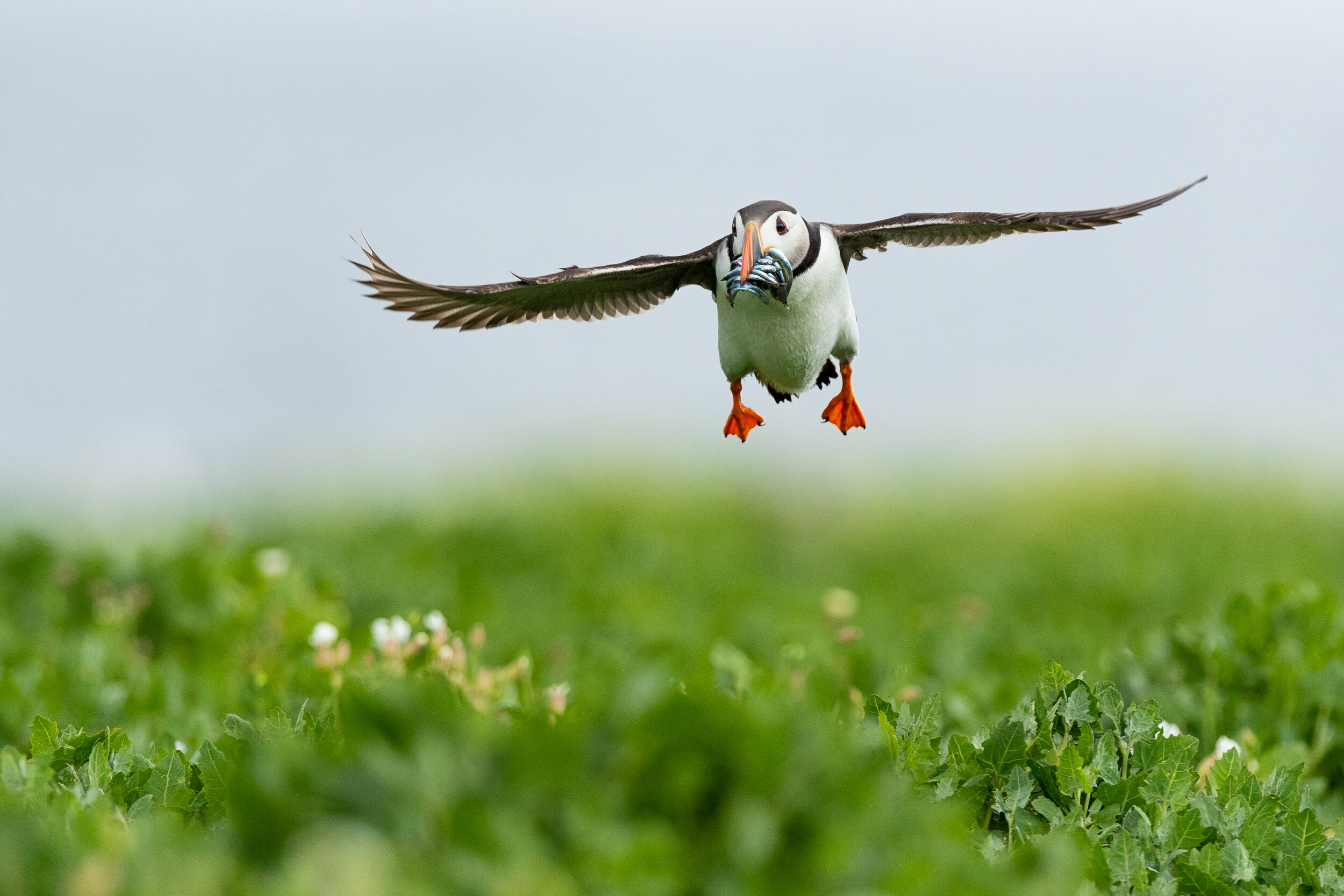 Atlantic-Puffin-HIGH-RES-1.jpg