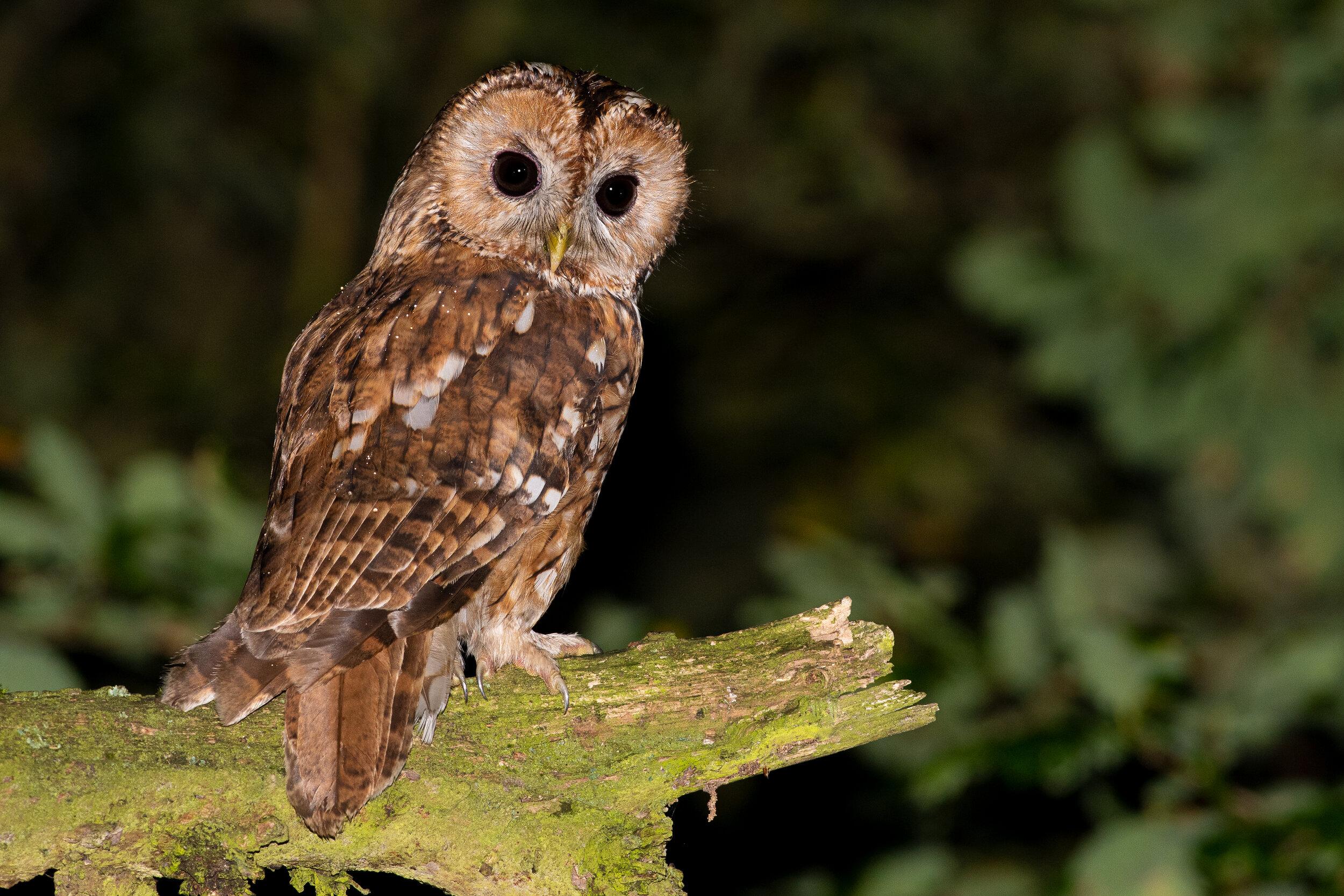 Tawny-Owl-HIGH-RES-15.jpg
