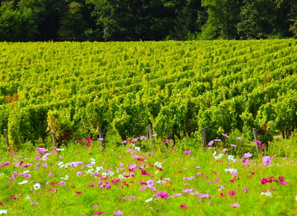 Vineyards stretched in peaceful fields across the horizon, with wildflowers between