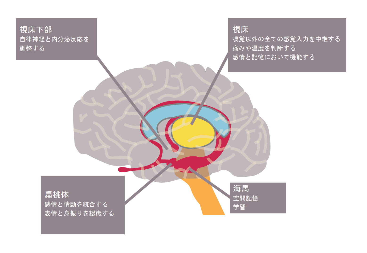 limbic system.png