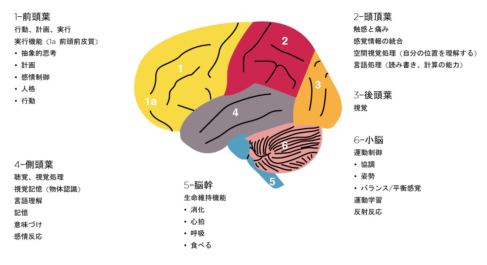 cerebral cortex.png