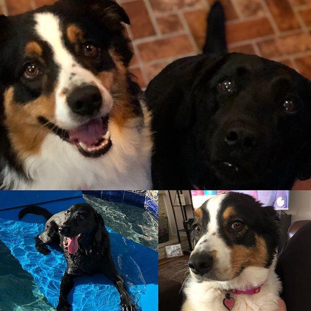 Happy National Dog Day to my fur babies! It's amazing what joy dogs can bring to your life! . . . . #nationaldogday #nationaldogday🐶 #dogsarelife #furbabies #labradorretriever #australianshepherd
