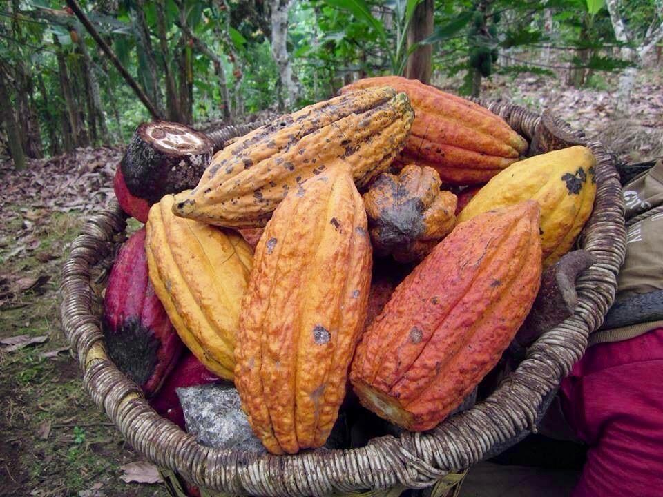 wild-cacao-11.jpg