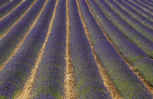 Lavender+Field+in+France optimized.png