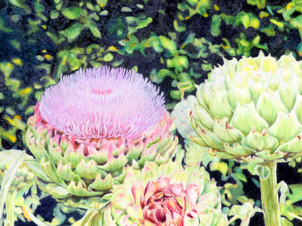 """""""BLOOMING ARTichoke"""", Color pencil on Bristol Paper,  8x10 inches,  IN PRIVATE COLLECTION"""