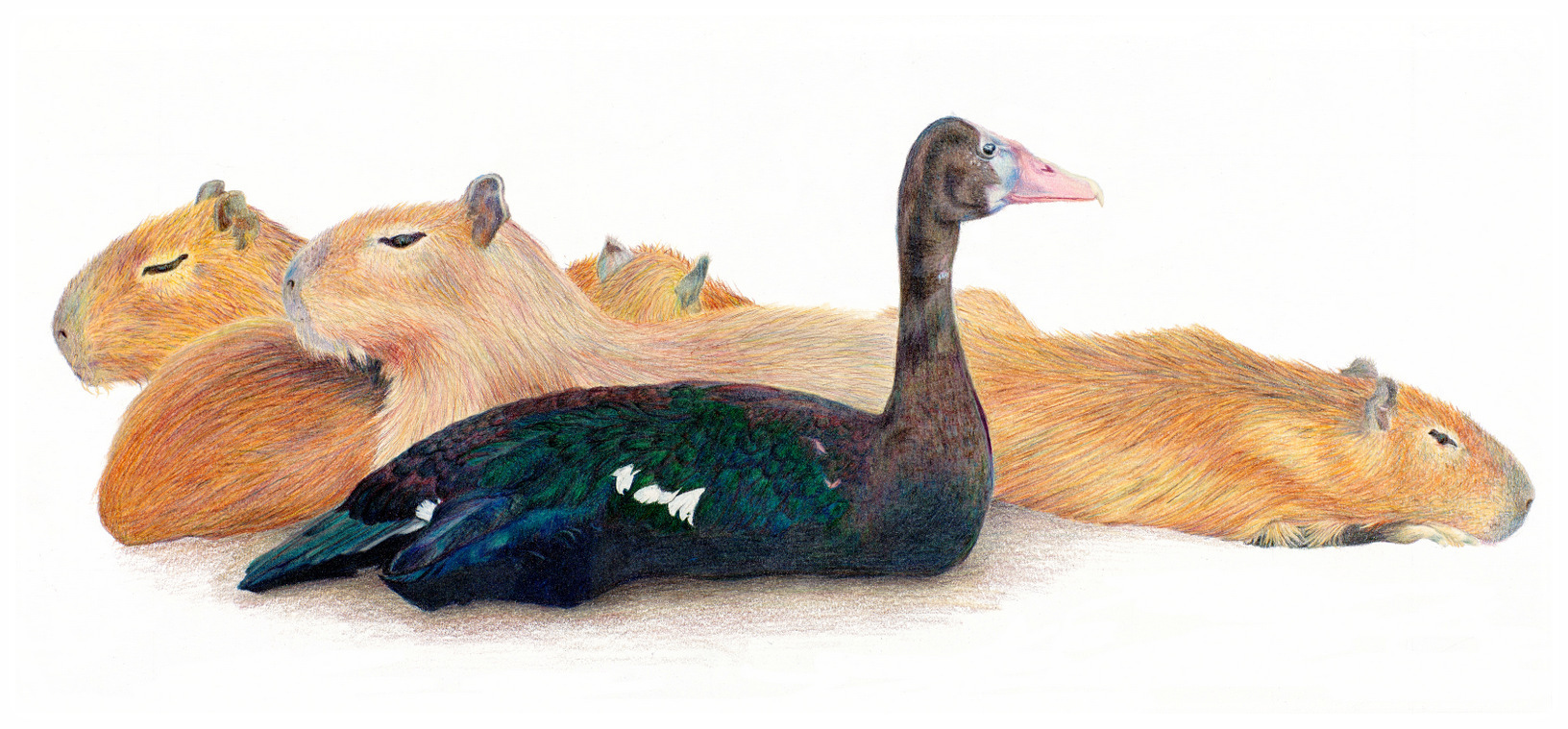 """""""BIRDS OF A FEATHER"""",  Color pencil on Arches Paper,  10X22 inches,  IN PRIVATE COLLECTION"""