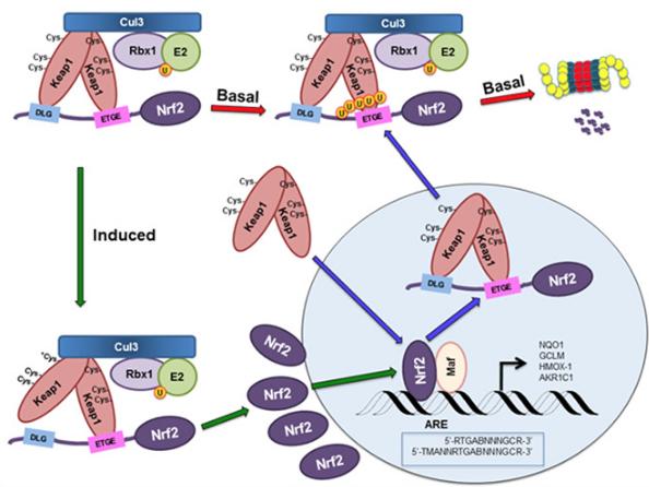The NRF2 Signaling Pathway