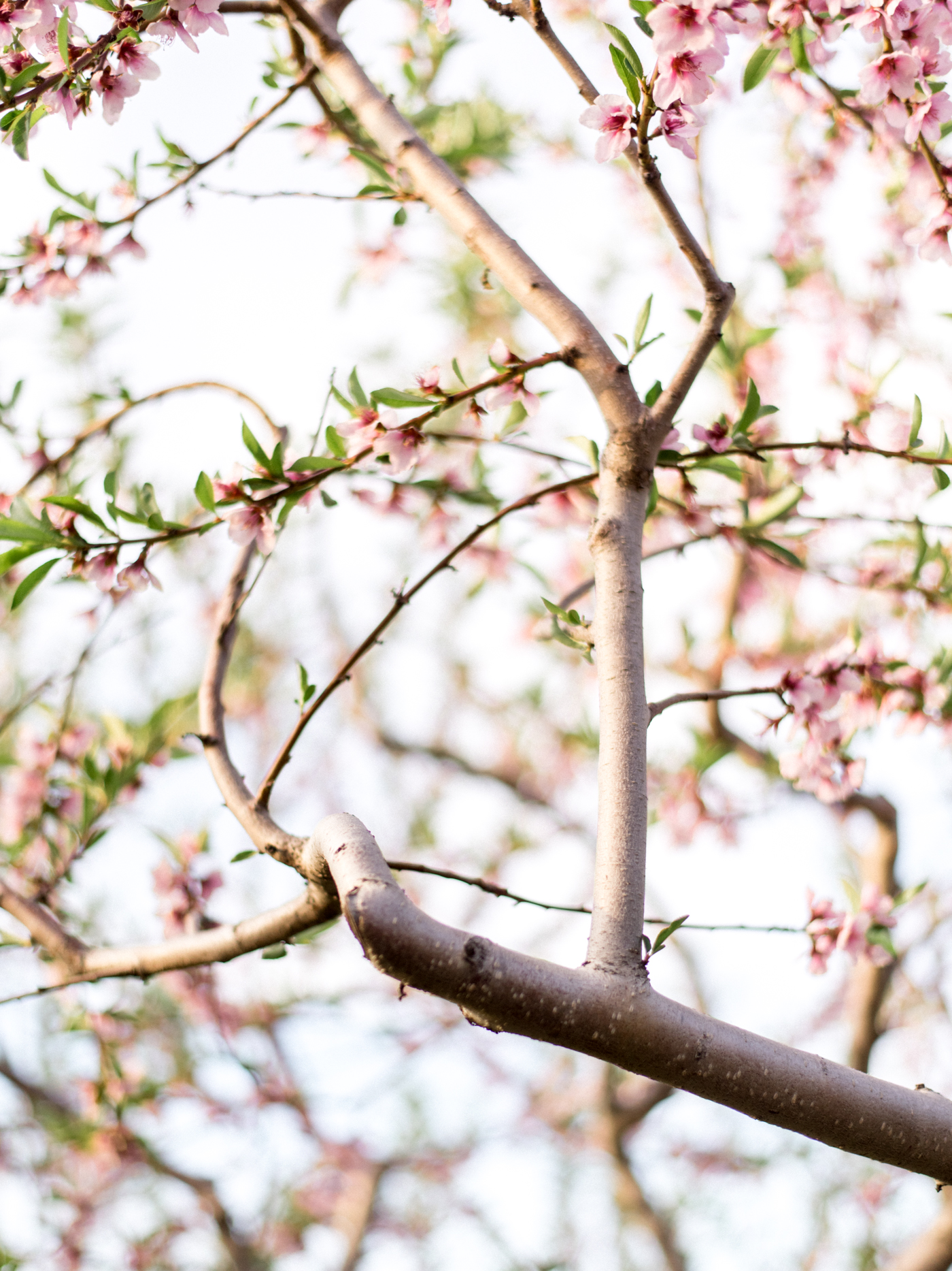 Chris & Heather's Engagement Session in Vineland Ontario Spring Blossoms Trees by Hush Hush Photography & Film Aidan Hennebry - 13.jpg