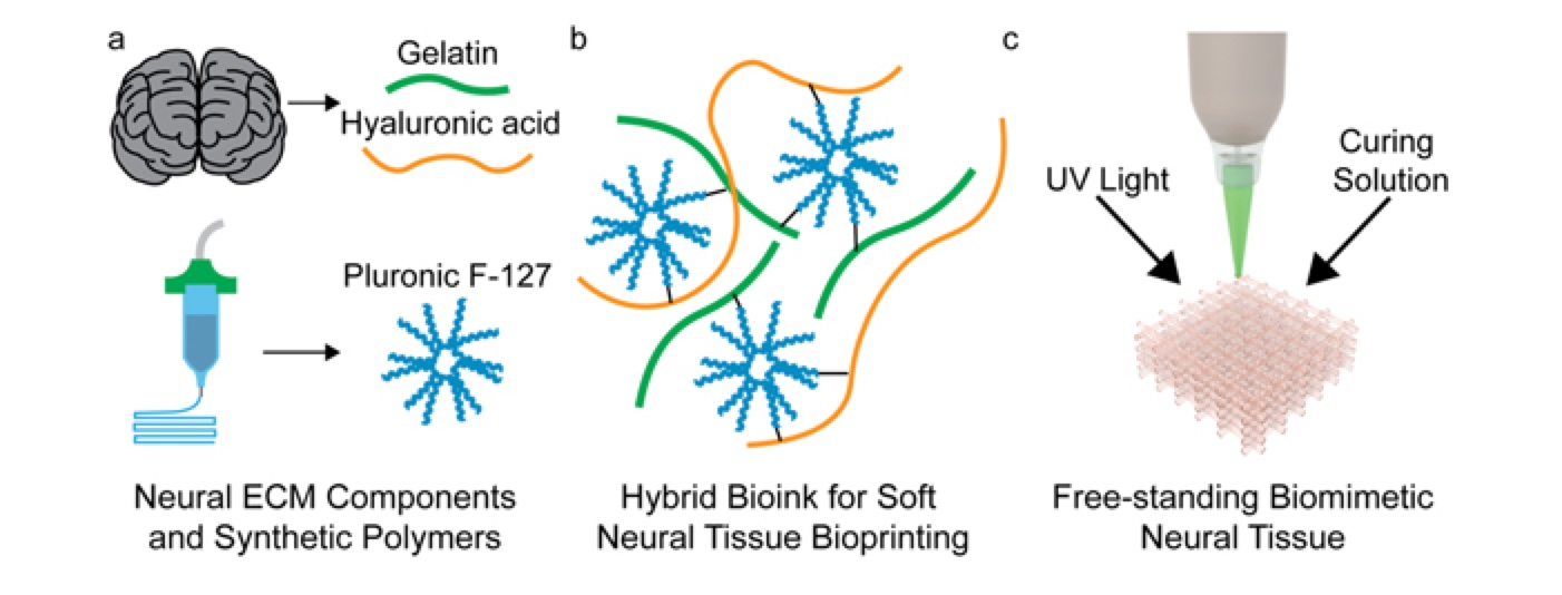 (a) Neural tissue bioink design for biomimicry and processability. Native extracellular matrix components of neural tissue were combined with a synthetic polymer to achieve biomimicry of neural tissue chemistry and mechanical properties as well desirable rheological properties for microextrusion 3D bioprinting of soft, free-standing neural tissues. (b) The slightly crosslinked hydrogel network creates a highly printable bioink capable of forming free-standing structures. (c) The printed bioink could be chelated or photocured to produce a cured chemically and mechanically biomimetic 3D bioprinted neural tissue.