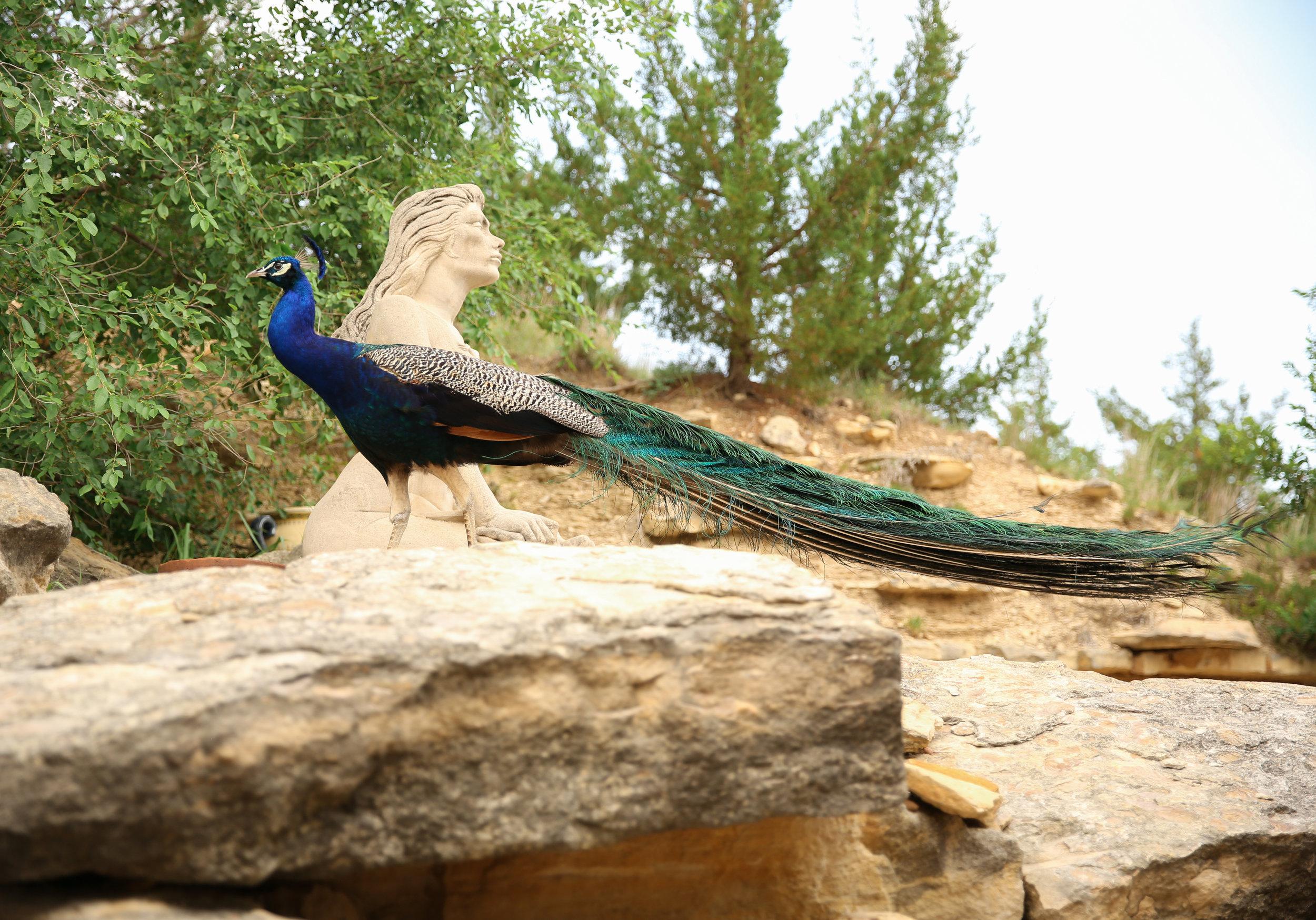 wildlife_peacock.jpg