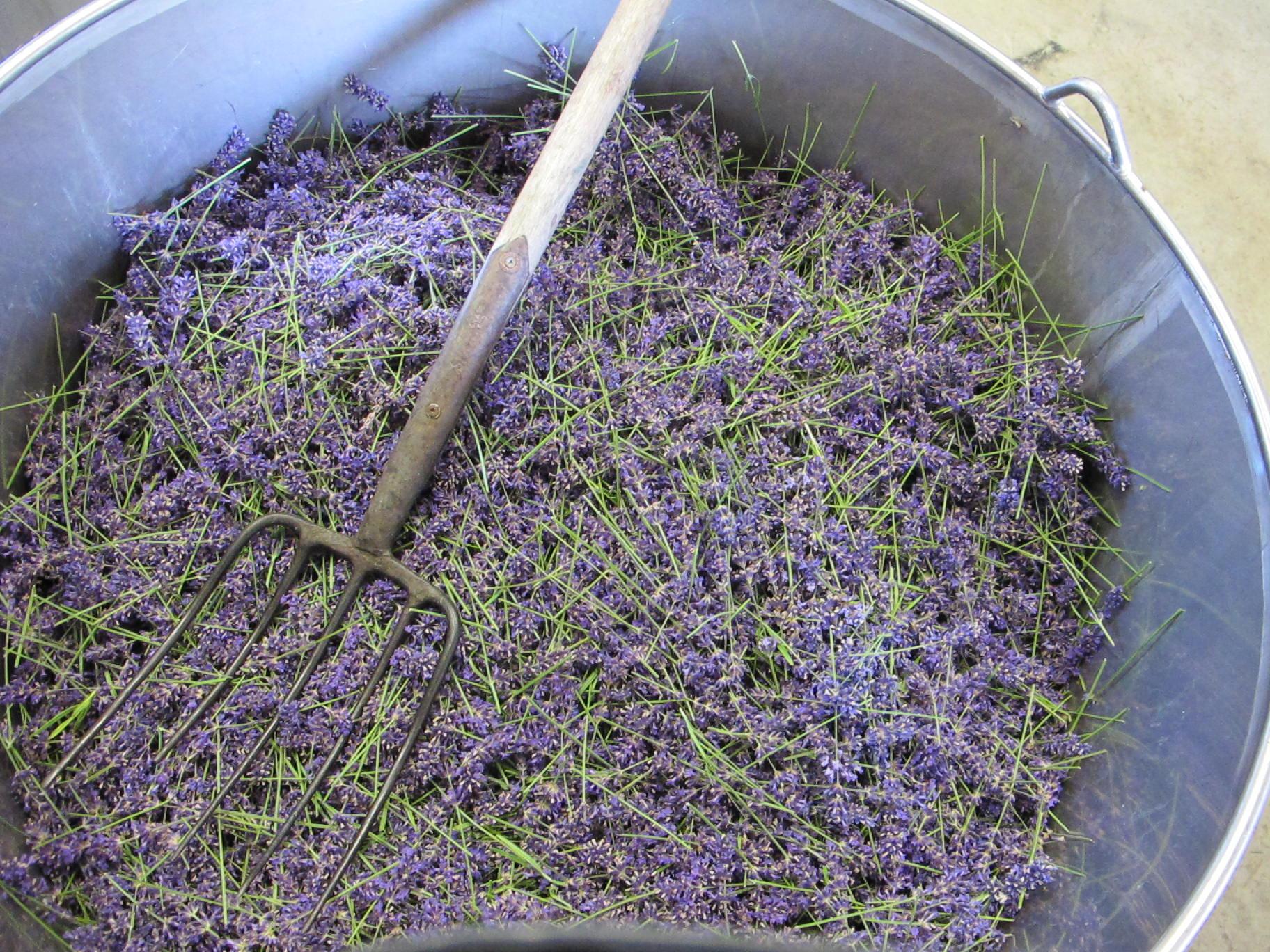 Lavender harvest 2012 042.JPG
