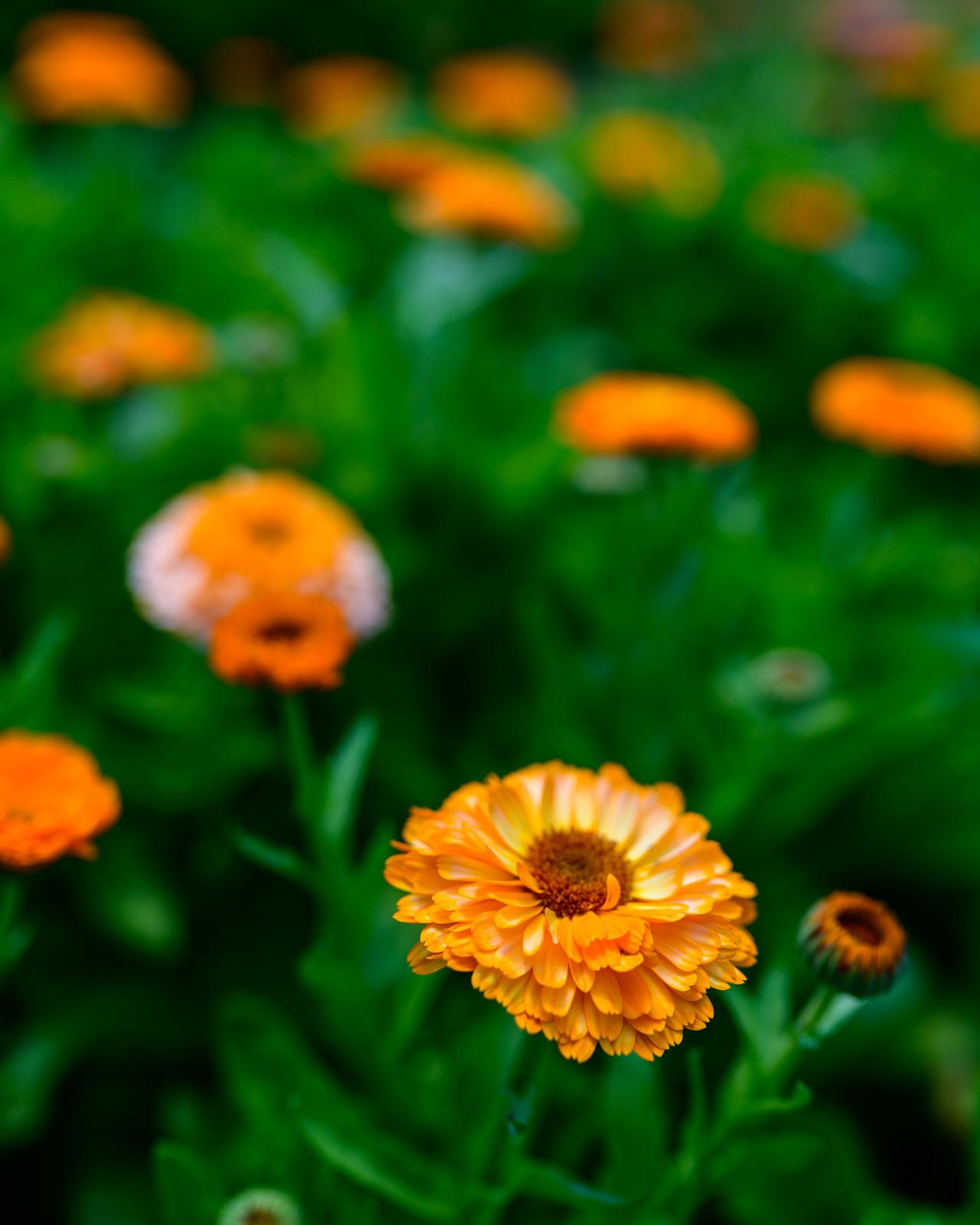 Flower Bloom_83.JPG