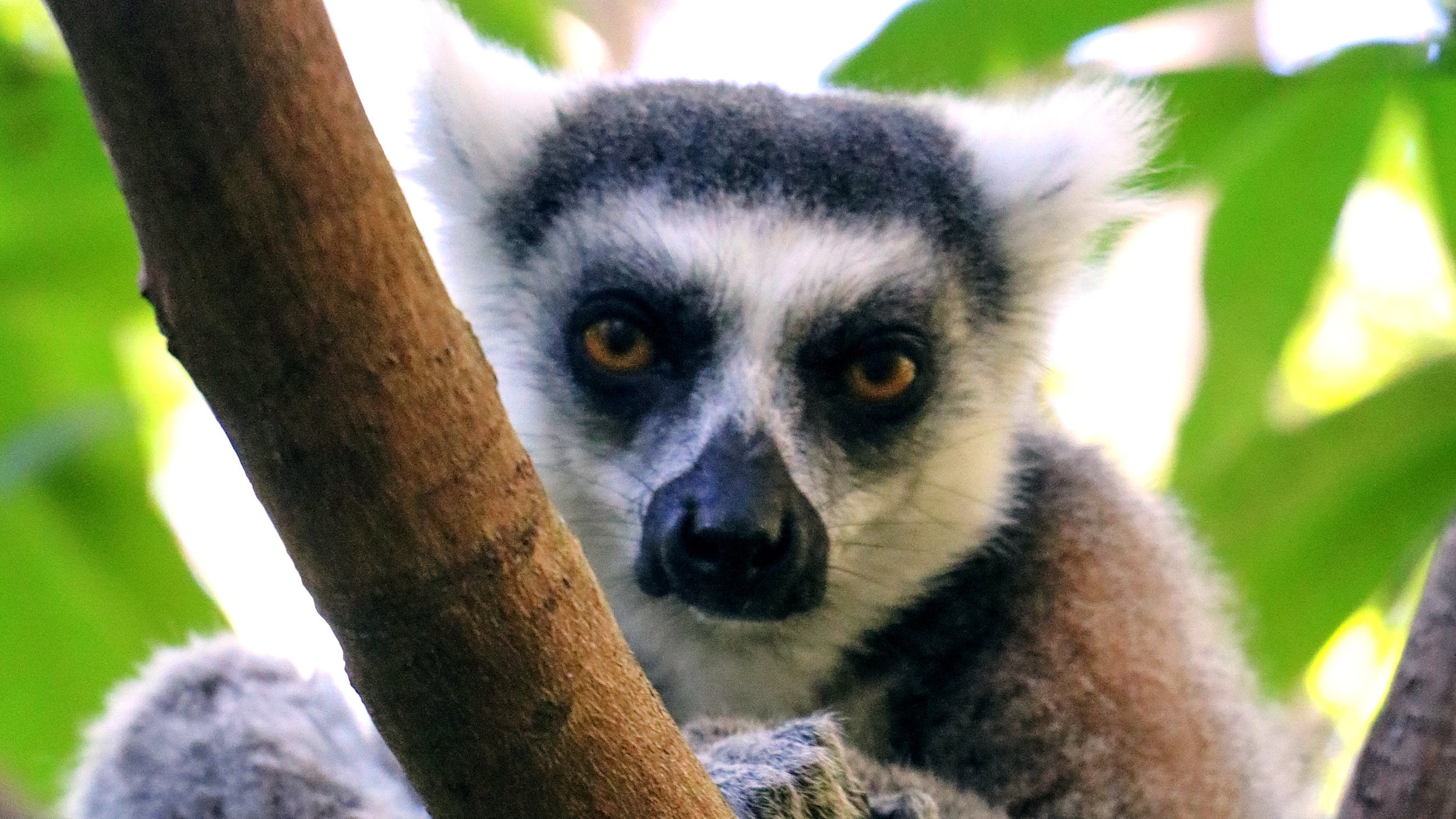 A curious Ring-Tailed Lemur © Mora Mora Photography