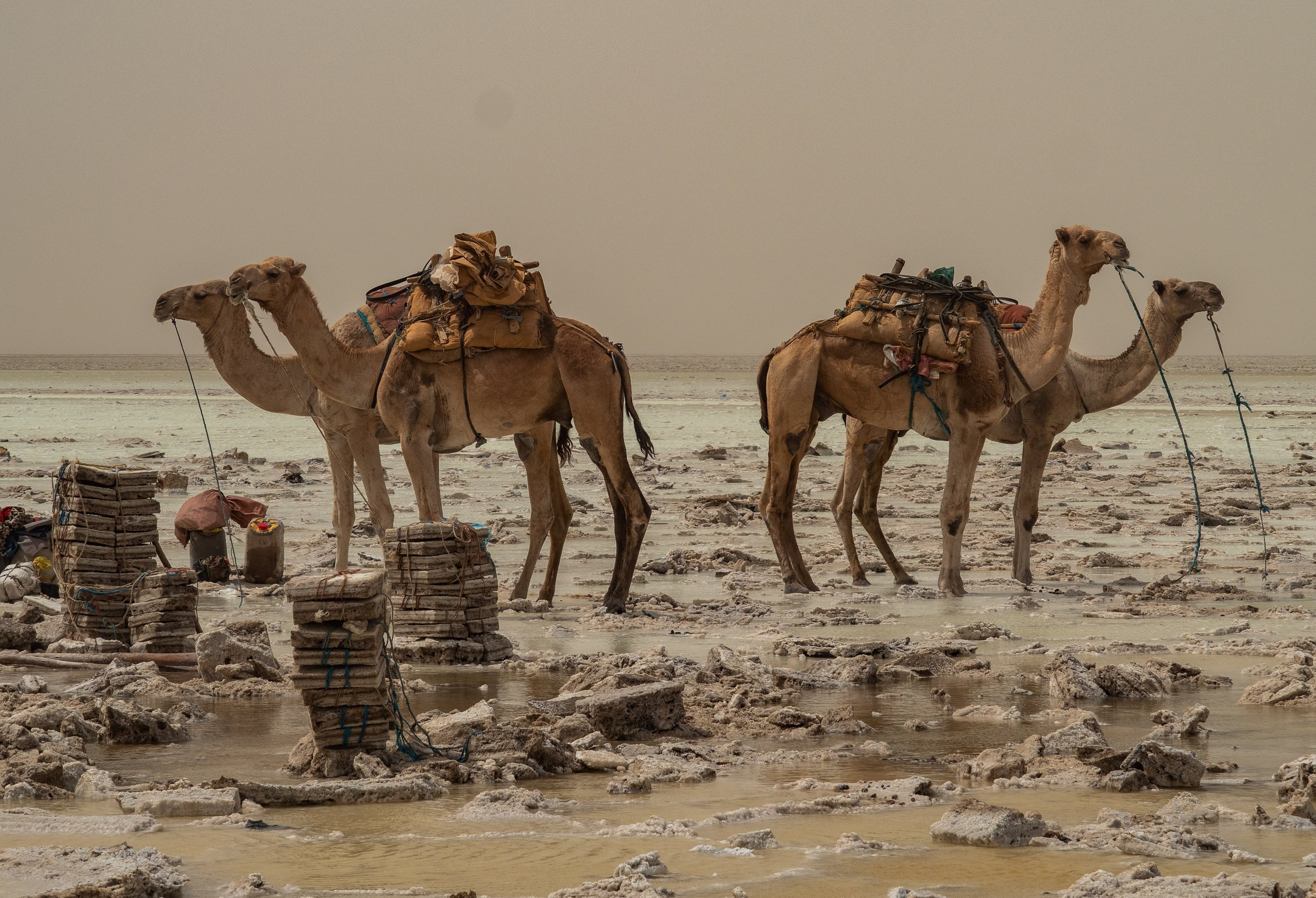 Camels in the Danakil Depression by Lesly Derksen