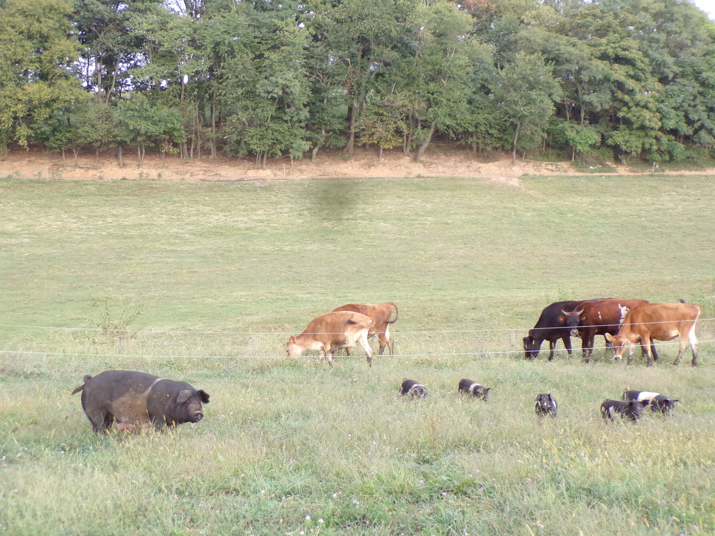 Here is the Perfect Mother Pig that is raising here 5 little Piglets. She is doing a wonderful job, and they are absolutely healthy, and so cute.  In the background are the Baby Cows (Calves) that the pigs share the field with.