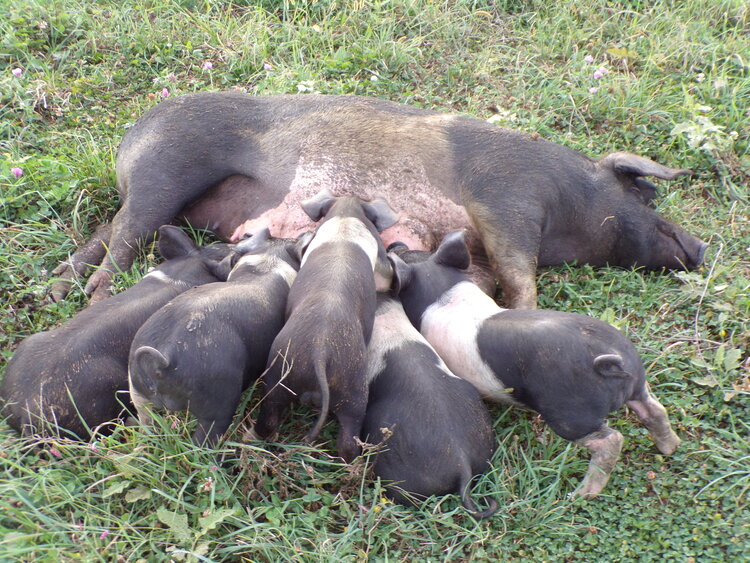 WOW!! This is so Beautiful! After roaming in the Field for a few hours, it is time to nurse the piglets, and get some rest. They all seem so happy, and it looks so cute. The mother pig just lays quitely, and the baby Piglets know what they are suppose to do!