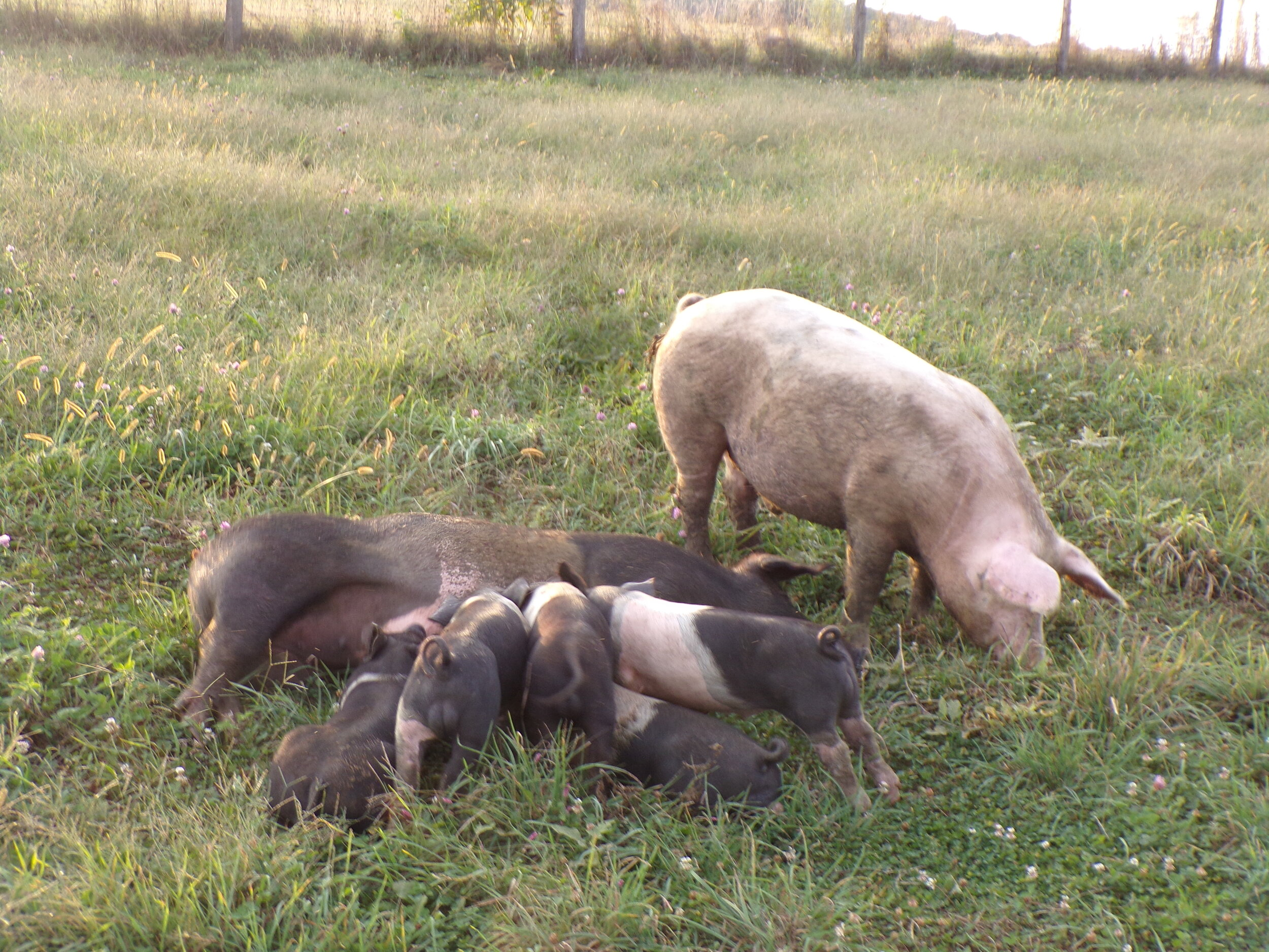 The Father Pig loves to eat grass all the time. Such a beautiful Picture of the complete Pig Family!