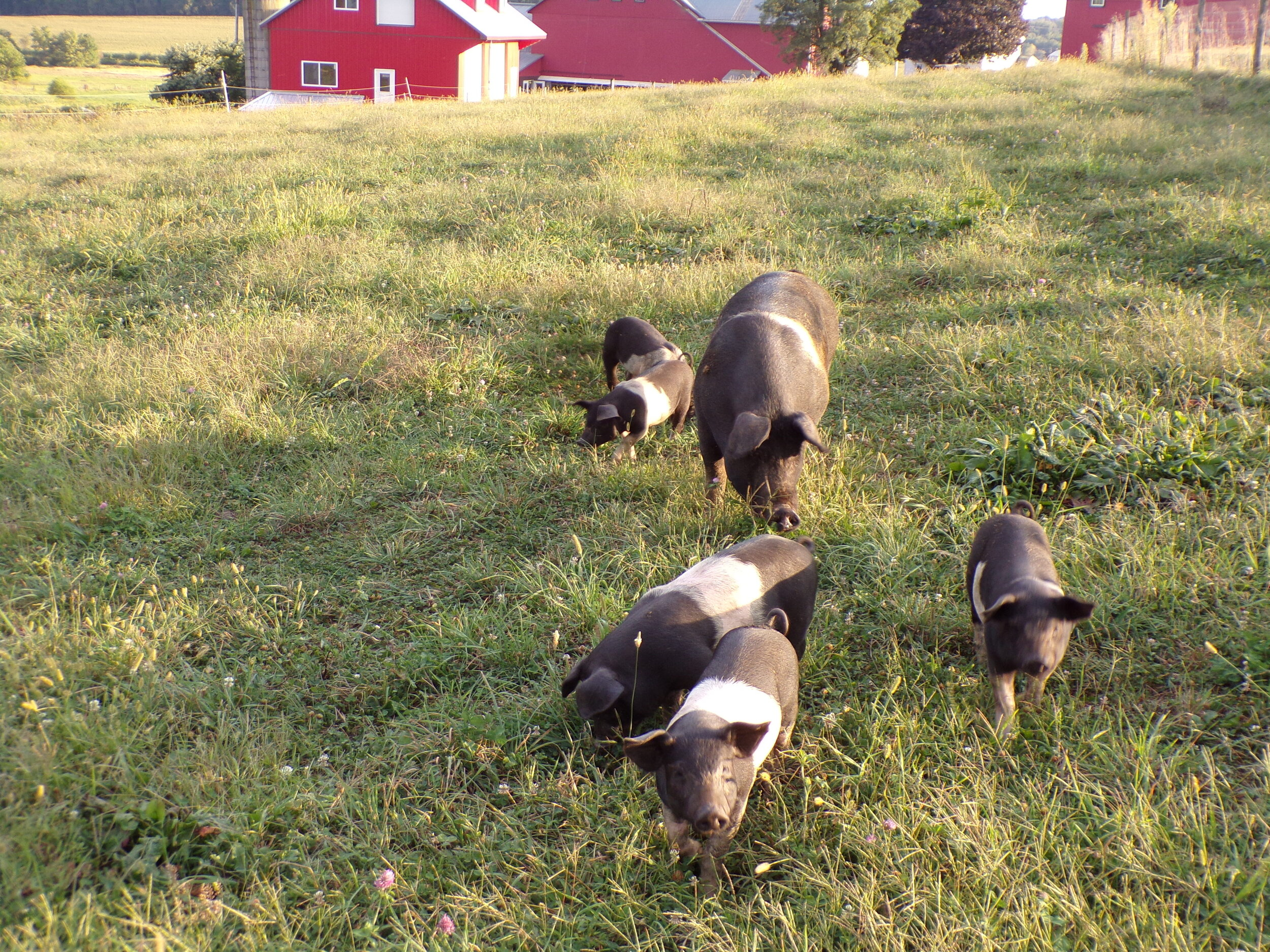 """The Pigs are very tame, and they are walking towards me, and they are wondering what I want! """"I just want to take pictures of you, Piglets."""""""