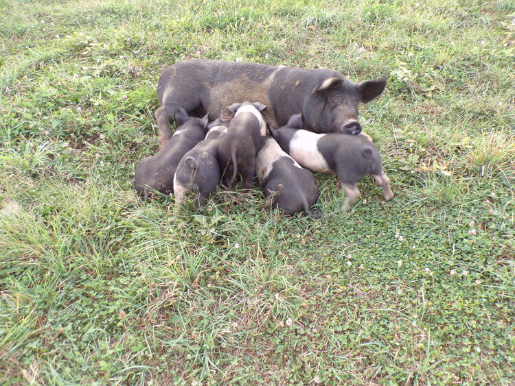 """Now It's Enough"" Says Mother Pig. ""Let's eat more grass, then when it gets dark, we can go in the Barn, and have a good night's sleep!"" Pigs Love sleeping!!"