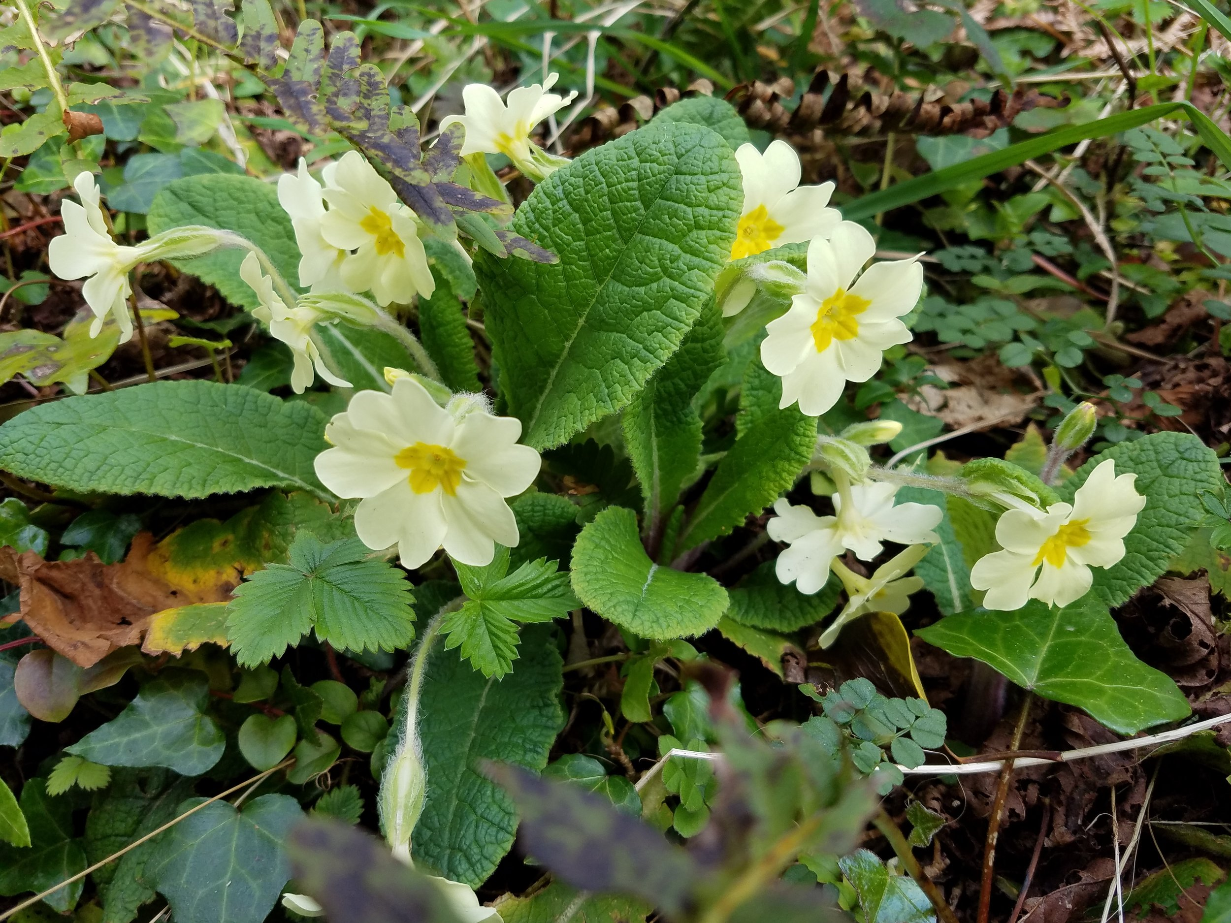 Primroses flowering atop a stone wall.