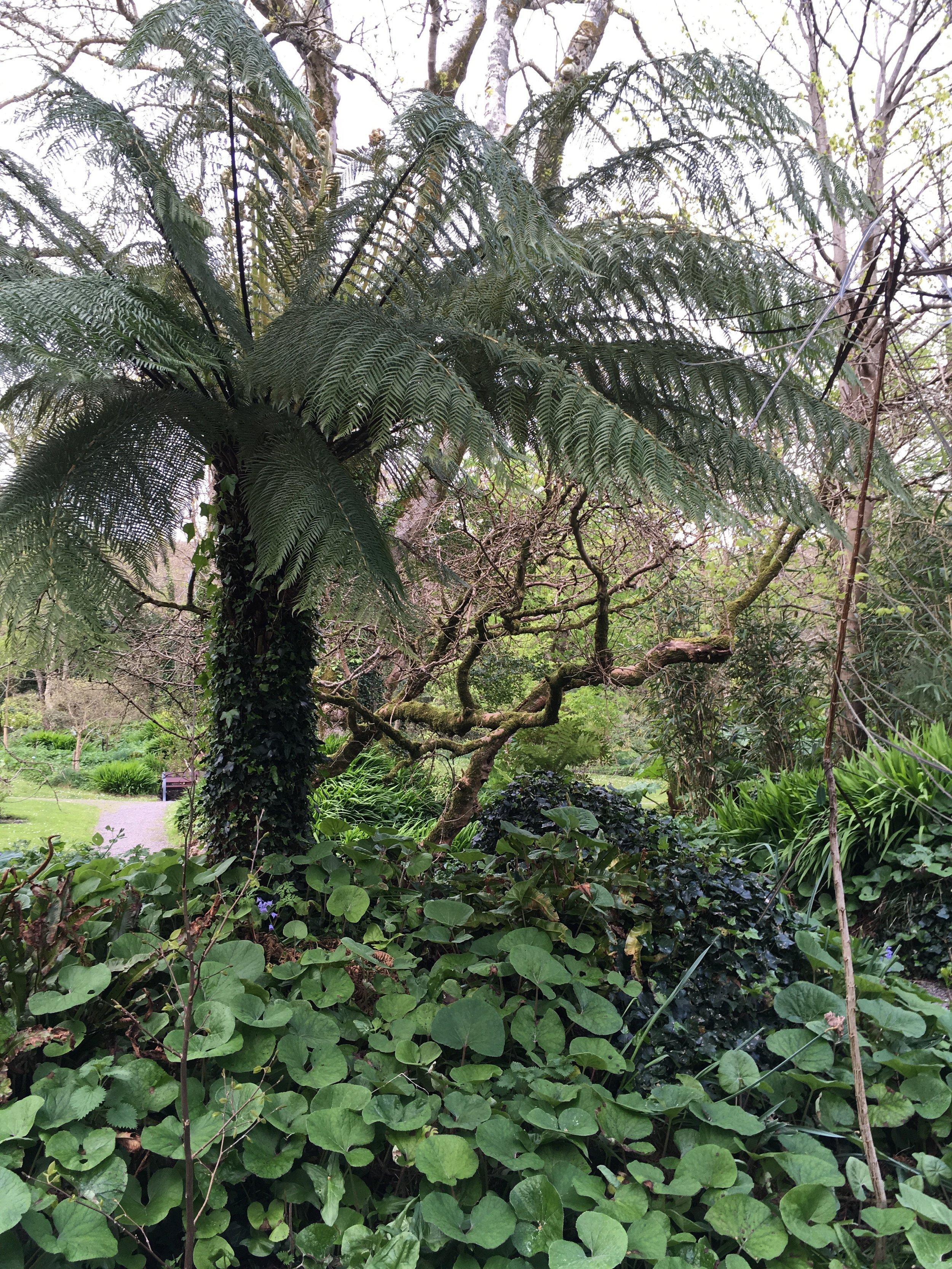 Tree fern in the Derrynane Gardens.