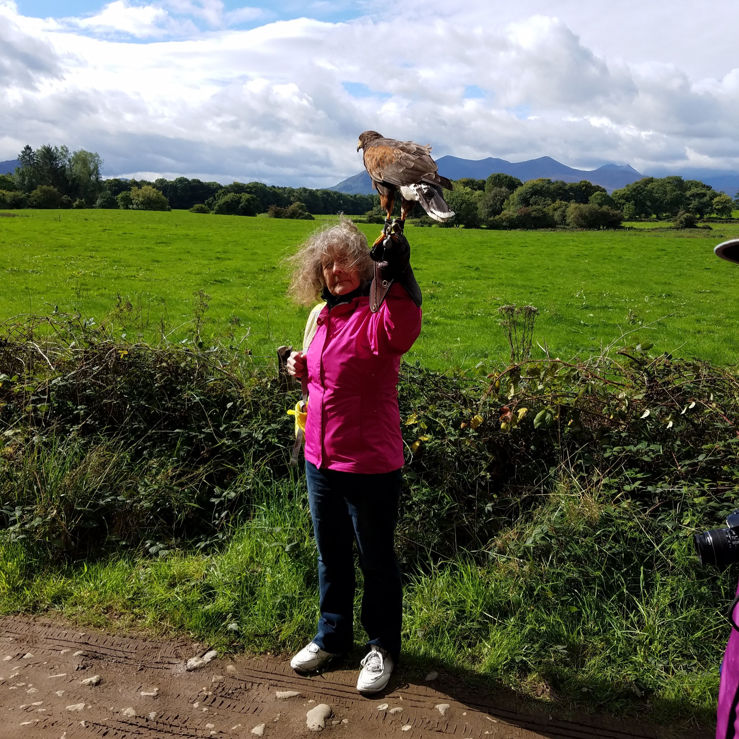Harris Hawk Killarney Falconry