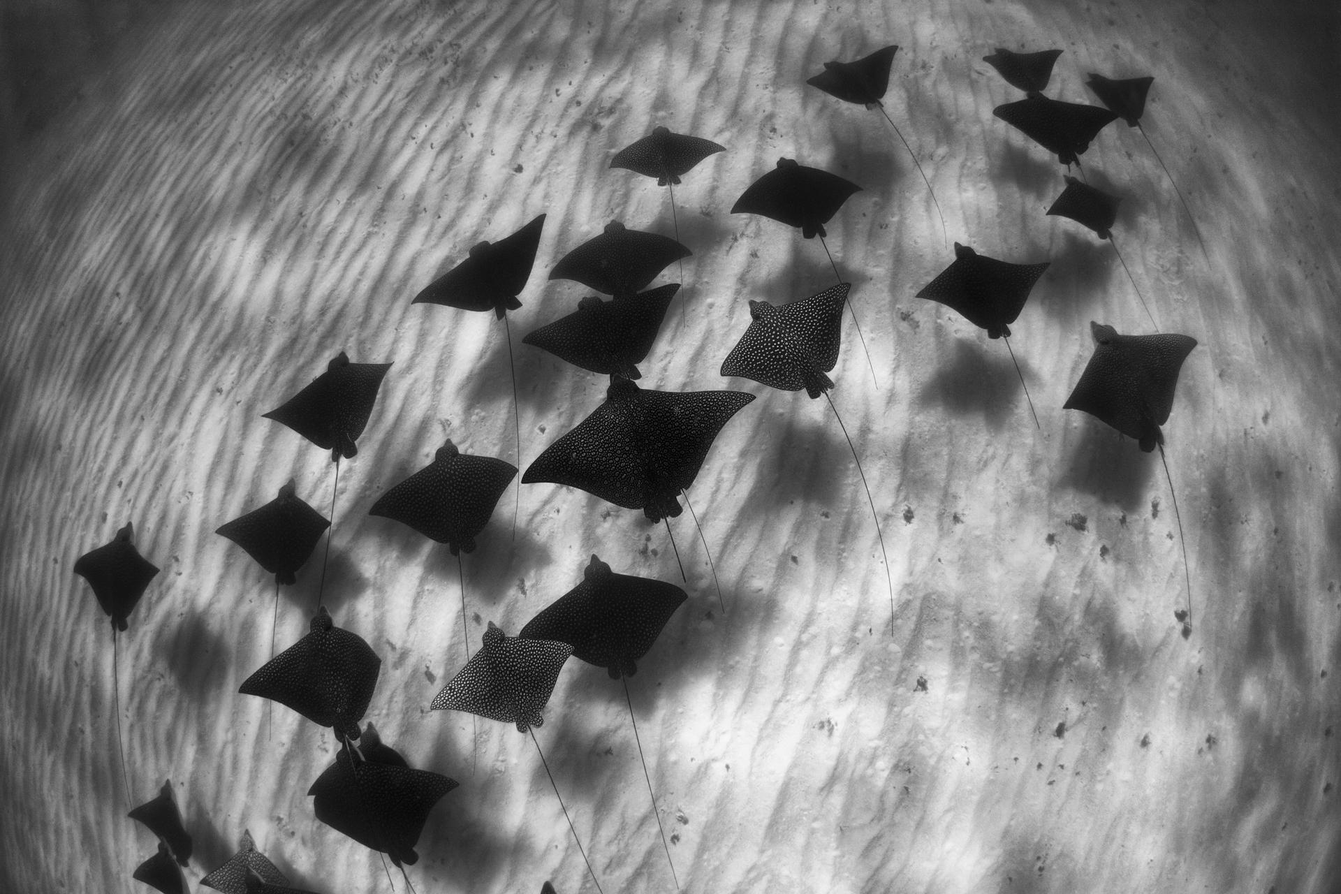 101 Spotted Eagle Rays-B&W.jpg